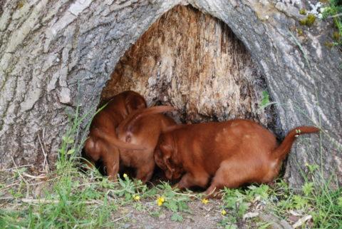 Valpene har funnet seg en hule.